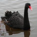 パ-スのシンボル国鳥ではなく黒鳥!!ブラックスワン!!