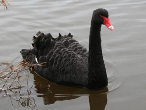Black Swan, Salthouse, 10-Nov-07 (A1) L