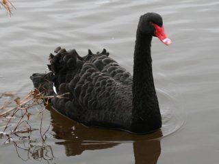 パスのシンボル国鳥ではなく黒鳥ブラックスワン パース