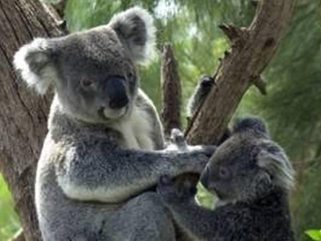 半日ツアー!パースで唯一コアラを抱っこ出来るコフヌコアラパークへ!オ-ジ-名物ランチ付!A$155