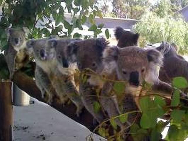半日ツアー!パースで唯一コアラ抱っこコフヌコアラパークへ!抱っことランチ付A$155 Image4