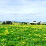 黄色の花畑広がるスワンバレーワイナリー巡りツアー