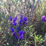 祝ワイルドフラワー2泊3日、カルバリ国立公園ツアー決定。